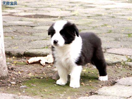 狗狗智商排名——世界上最聪明的狗