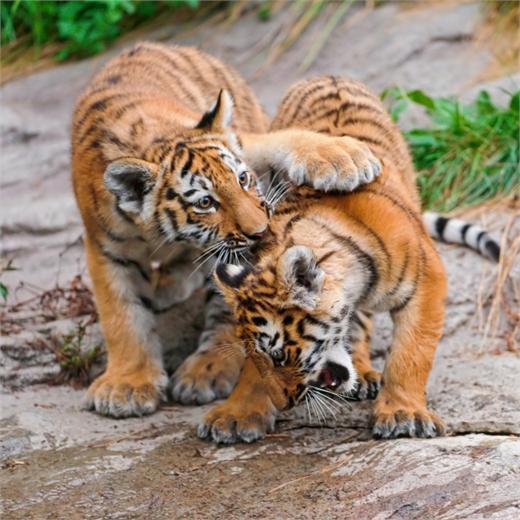 老虎的图片   老虎图片大全